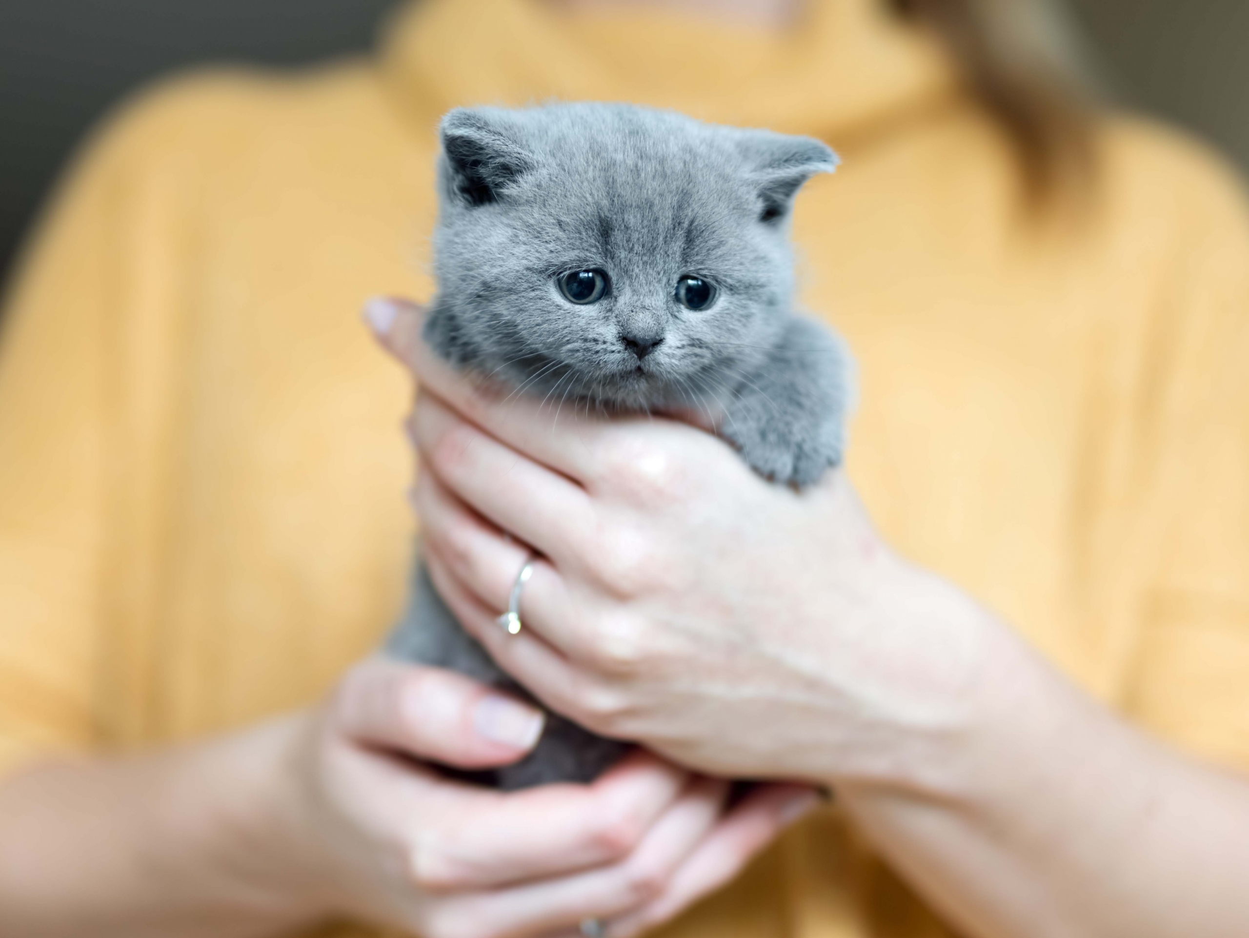Grey adorable kitty held by a woman standing in a background. Furry love. British shorthair cat.